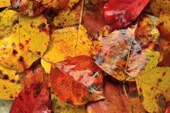 Fundo molhado das folhas de outono Fotos de Stock