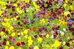 Fundo na viola do amor perfeito das flores Foto de Stock Royalty Free