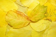 fundo natural amarelo das folhas caídas Fotos de Stock Royalty Free