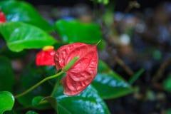 Fundo natural, antúrio Tailflower, flor de flamingo, planta de Laceleaf e flor As flores são contidas em espirais densas fotos de stock royalty free