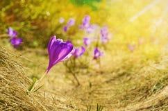 Fundo natural bonito com açafrão na luz solar e no bokeh Imagens de Stock