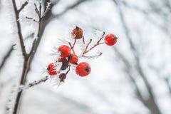 Fundo natural borrado Defocused com ramos geados e as bagas vermelhas Copie o espaço Imagens de Stock Royalty Free