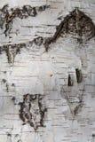 Fundo natural com textura da casca de árvore do vidoeiro imagens de stock
