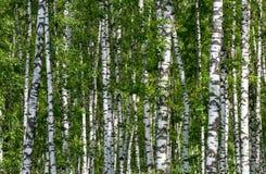 Fundo natural como o birchwood Imagem de Stock Royalty Free