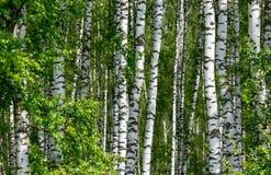 Fundo natural como o birchwood Fotos de Stock Royalty Free