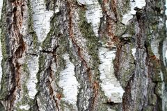 Fundo natural da casca de vidoeiro com textura natural do vidoeiro Modele, orgânico foto de stock