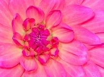 Fundo natural da flor de Abstact com uma flor da dália Fotografia de Stock Royalty Free