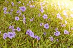 Fundo natural da flor, opinião surpreendente da natureza de flores roxas Fotos de Stock Royalty Free