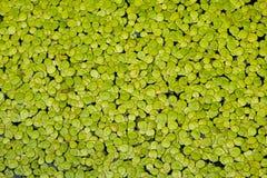 Fundo natural da lentilha-d'água verde fotografia de stock
