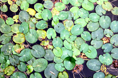 Fundo natural da lentilha-d'água verde na água em uma água contaminada imagem de stock royalty free