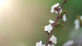 Fundo natural da mola bonita Ramos do macro de floresc?ncia do abric? no sol fotografia de stock
