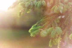 Fundo natural da mola bonita Ramos macios do abeto macro no sol Foco macio ver?o, conceitos da mola imagem de stock