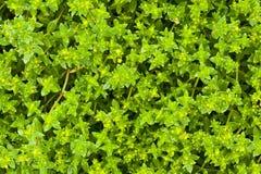 Fundo natural da planta da grama verde Imagem de Stock Royalty Free