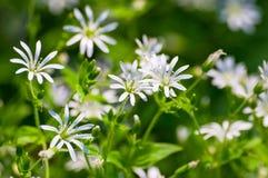 Fundo natural da textura do detalhe branco da flor selvagem Fotografia de Stock Royalty Free