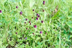 Fundo natural das flores selvagens roxas bonitos no prado do verde do verão Dia de verão após a chuva conceito da ecologia Fotografia de Stock Royalty Free