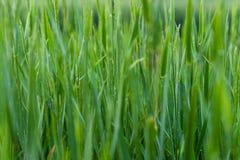Fundo natural de grama verde Fotografia de Stock