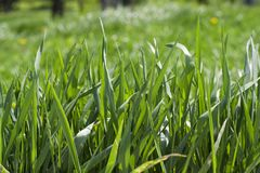 Fundo natural de grama verde Grama verde em uma textura e em um fundo ensolarados do dia de verão Fim detalhado acima de colorido fotografia de stock royalty free