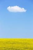 Fundo natural do campo da colza contra o céu azul Imagem de Stock Royalty Free
