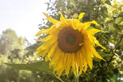 Fundo natural do girassol, florescência do girassol Foto de Stock Royalty Free