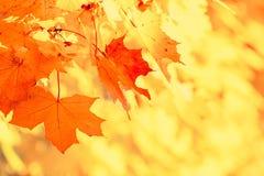 Fundo natural do ramo colorido das folhas de bordo do outono Autumn Foliage vermelho e amarelo colorido imagens de stock royalty free