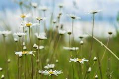 Fundo natural do verão, ecologia, conceito verde do planeta: Flores selvagens de florescência bonitas dos camomiles brancos contr Fotografia de Stock