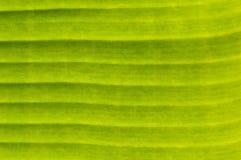 Fundo natural floral do verde da folha da banana Imagens de Stock