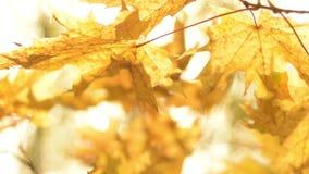 Fundo natural Folhas de brilho do lance de Sun na floresta do outono vídeos de arquivo