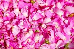 Fundo natural - pétalas cor-de-rosa brilhantes da flor cor-de-rosa selvagem Imagens de Stock