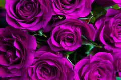 Fundo natural roxo das rosas Fotografia de Stock Royalty Free