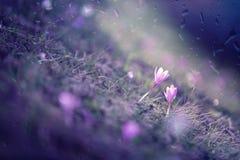 Fundo obscuro da flor do açafrão da mola Fotografia de Stock