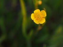 Fundo obscuro da flor do botão de ouro Foto de Stock Royalty Free