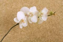 Fundo ornamentado com orhids brancos Fotografia de Stock