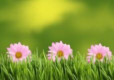 Fundo ou beira verde e cor-de-rosa da margarida imagem de stock