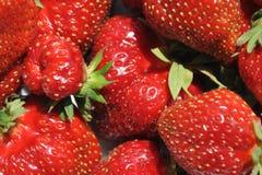 Fundo ou textura com as morangos orgânicas frescas do jardim foto de stock royalty free