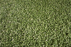 Fundo ou textura de brotos verdes frescos Imagem de Stock