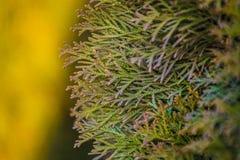 Fundo ou textura do tom e dos ramos amarelos de uma ?rvore um thuja Cores brilhantes da mola de um abeto nave fotografia de stock