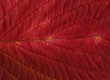 Fundo ou texturas vermelhas da folha Fotografia de Stock