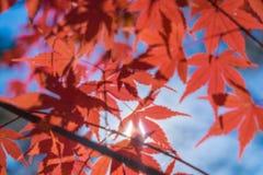 fundo outonal, folhas de bordo vermelhas levemente defocused Imagens de Stock Royalty Free