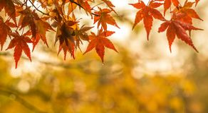 Fundo outonal, folhas de bordo vermelhas levemente defocused com w imagens de stock royalty free