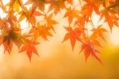 Fundo outonal, folhas de bordo vermelhas levemente defocused com w fotografia de stock royalty free
