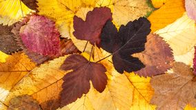 fundo panorâmico do outono das folhas caídas Fotografia de Stock