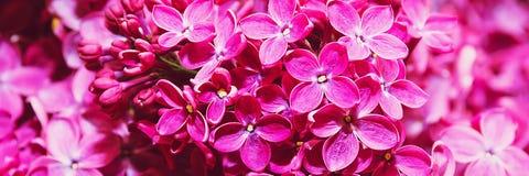 Fundo panorâmico natural bonito Flores lilás, close-up fotografia de stock royalty free