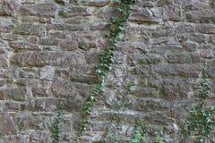 Fundo - parede de pedra velha com hera Fotos de Stock Royalty Free