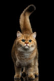 Fundo peludo de Cat Gold Chinchilla Isolated Black da raça de Ingleses Imagem de Stock Royalty Free