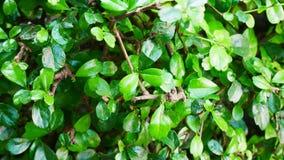 Fundo pequeno verde da textura da folha Imagens de Stock Royalty Free