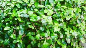 Fundo pequeno verde da textura da folha Imagens de Stock