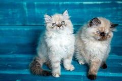 Fundo persa do azul do gatinho Imagens de Stock