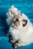 Fundo persa do azul do gatinho Fotografia de Stock