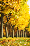 Fundo pitoresco do parque do outono Árvores amarelas e vermelhas brilhantes Fotos de Stock Royalty Free