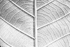 Fundo preto e branco secado das folhas Imagem de Stock Royalty Free